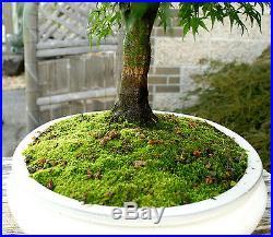 Bonsai Tree Specimen Japanese Maple Sharpes Pygmy JMSPST-911A