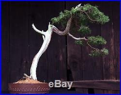 Bonsai Tree Specimen Rocky Mountain Juniper by artist John Wall RMJST-705