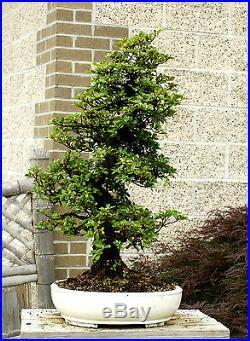 Bonsai Tree Specimen Satsuki Azalea Kaho SAKST-411A