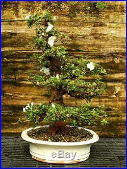 Bonsai Tree Specimen Satsuki Azalea Kaho SAKST-508A