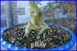 Bonsai Tree Specimen Satsuki Azalea Nikko SANST-218A