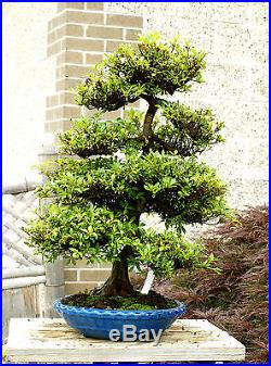 Bonsai Tree Specimen Satsuki Azalea Nikko SANST-411A