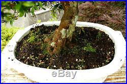 Bonsai Tree Specimen Satsuki Azalea Nikko SANST-411C