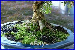 Bonsai Tree Specimen Satsuki Azalea Nikko SANST-519C