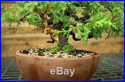 Bonsai Tree Specimen Shimpaku Juniper Itoigawa SJIST-915B