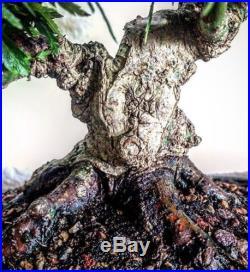 Bonsai Tree Specimen Shohin Kiyohime Maple (Rare)