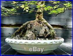 Bonsai Tree Specimen Trident Maple Over Rock TMORST-515A