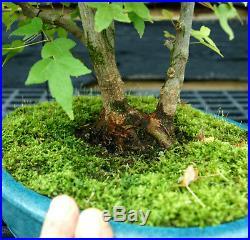 Bonsai Tree Specimen Trident Maple TMST-1027D
