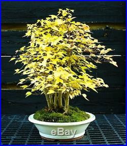 Bonsai Tree Specimen Trident Maple TMST-1227A
