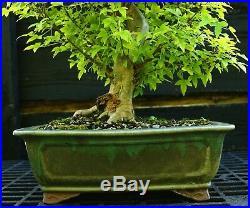 Bonsai Tree Specimen Trident Maple TMST-918A