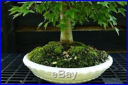 Bonsai Tree Specimen Trident Maple TMST-918C