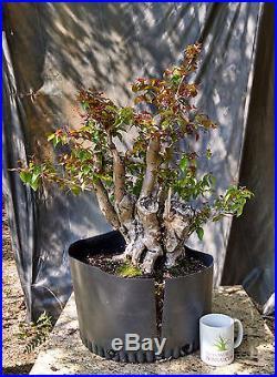 Bonsai Tree, Surinam Cherry, Advanced Prebonsai, Unqiue Melted Trunk