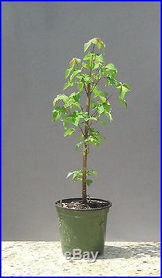 Bonsai Tree, Trident Maple, Acer buergerianum, Live Tree! Starter Tree