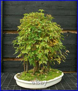 Bonsai Tree Trident Maple Grove 15 Trees TMG15-1103A