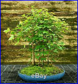 Bonsai Tree Trident Maple Grove 7 Trees TMG7-728A