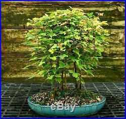 Bonsai Tree Trident Maple Grove 7 Trees TMG7-728B