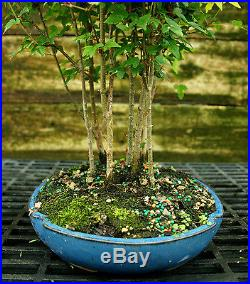 Bonsai Tree Trident Maple Grove 7 Trees TMG7-728C