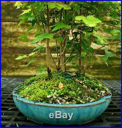 Bonsai Tree Trident Maple Grove 7 Trees TMG7-728D