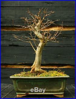 Bonsai Tree Trident Maple TM-1130C