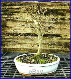 Bonsai Tree Trident Maple TM-1227C