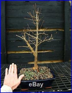 Bonsai Tree Trident Maple TM-201D