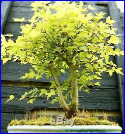 Bonsai Tree Trident Maple TM-429E