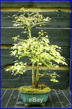 Bonsai Tree Trident Maple TM-429F