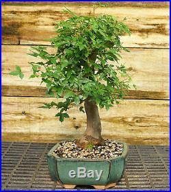 Bonsai Tree Trident Maple TM-524A