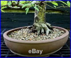 Bonsai Tree White Birch WB-617K