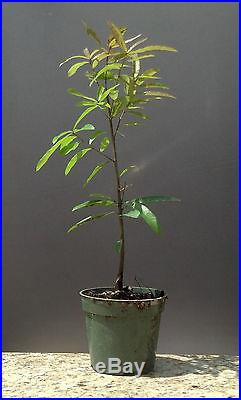 Bonsai Tree, Willow Oak, Quercus phellos, Live Tree! Starter Tree, Young Bonsai