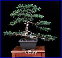 Bonsai Tree by Artist Mauro Stemberger 'San Jose' Juniper in 'Yamaaki' Tokoname