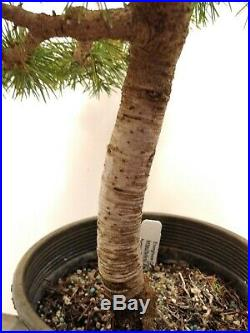 Bonsai Tree cedar of Lebanon