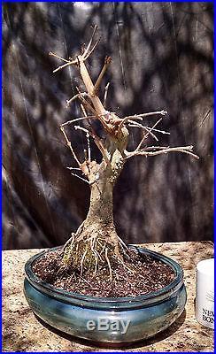 Bonsai, Trident Maple, Acer buergerianum, Potensai, Beautiful Movement