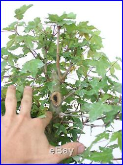 Bonsai, Trident Maple, Acer buergerianum, Prebonsai, Excellent Nebari, Kifu #1