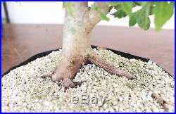 Bonsai, Trident Maple, Acer buergerianum, Prebonsai, Nice Rootage, Solid Taper