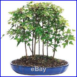 Bonsai Trident Maple Forest 7 Tree Deciduous Outdoor Beautiful Plant 3 Years