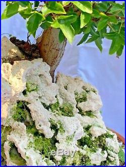 Bonsai Trident Maple Tree Specimen Over Rock