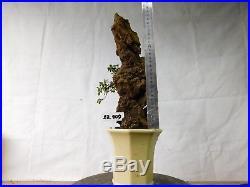 Bonsai Ulmus Lancaefolia ON THE ROCK 23.909