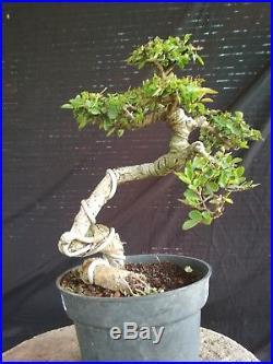 Bonsai Ulmus Lancaefolia Ref 15.38