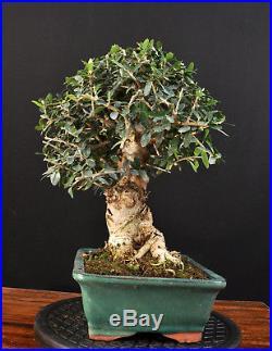 Bonsai Wildolive Olea Europaea Sylvestris Kleinblättrig Outdoor Alt Olive Baum