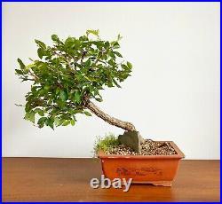 Bonsai Winged Elm (Ulmus Alata)