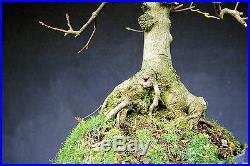 Bonsai outdoor winterhart Ahorn, Bergahorn, Acer H52 B40 D6 cm, Neb 25cm