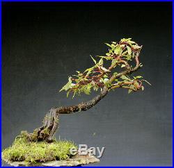Bonsai outdoor winterhart Cornus H53 B57 D6 cm