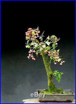 Bonsai outdoor winterhart Euonimus H72 B45 D6 cm