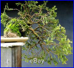 Bonsai outdoor winterhart Fichte, Picea, H45 B100 D4,5 cm Auf Stein