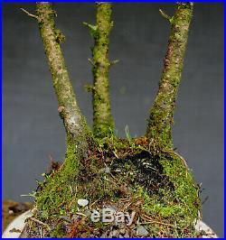 Bonsai outdoor winterhart Fichte, Picea, H60 B54 D3 cm