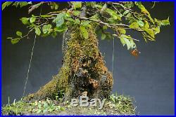 Bonsai outdoor winterhart Hainbuche Carpinus H43 B45 D13 cm