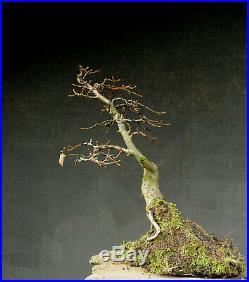 Bonsai outdoor winterhart Hainbuche Carpinus H45 B35 D6 cm