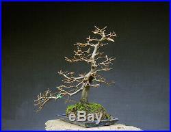 Bonsai outdoor winterhart Hainbuche Carpinus H47 B44 D4 cm