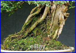 Bonsai outdoor winterhart Heckenkirsche, Lonicera nitida H43 B53 D21 cm
